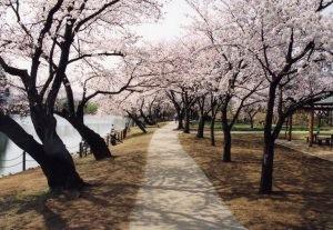 『桜の広場』の画像