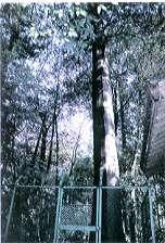 『中新田神明社大桧』の画像