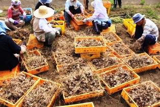 球根の収穫の写真