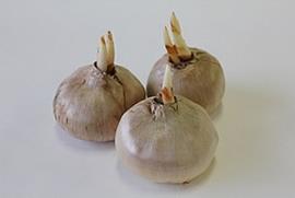 『サフランの球根』の画像