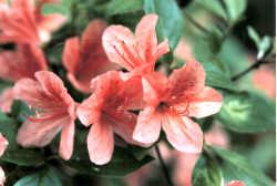 市の花 「ツツジ」
