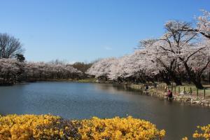 『鶴ヶ島の楽しみ方(太田ヶ谷沼桜)』の画像