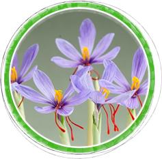 『『サフランの花イメージ』の画像』の画像