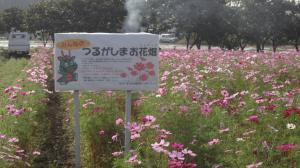 『上新田のコスモス畑』の画像