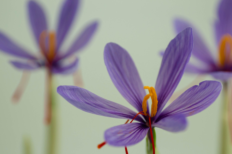 『『サフランの花』の画像』の画像