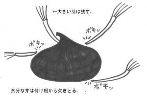 『『『サフランの球根イラスト』の画像』の画像』の画像