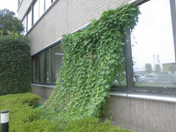 『緑のカーテンA』の画像