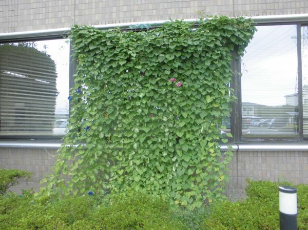 『緑のカーテンB』の画像